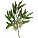 huile essentielle de tea-tree bio 10ml
