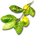 huile essentielle de citron bio 10ml